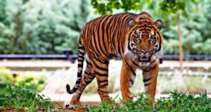 sumatran-tiger-518771_1920-e1473866221681-750x399